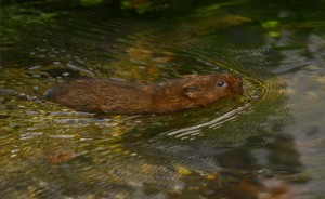 water vole swimming on Eastgate